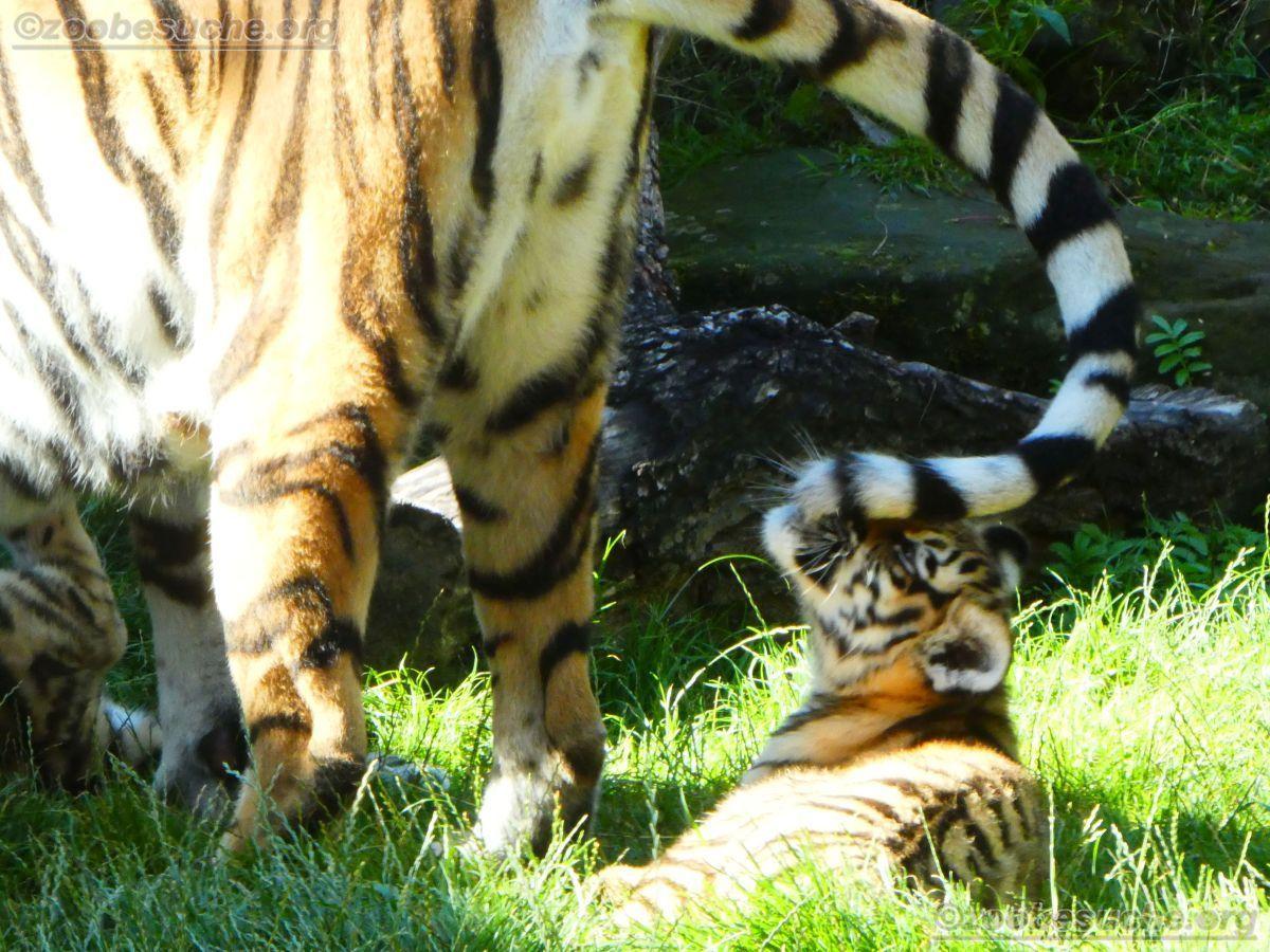 Tigerin Alexa mit Jungtier  (11)