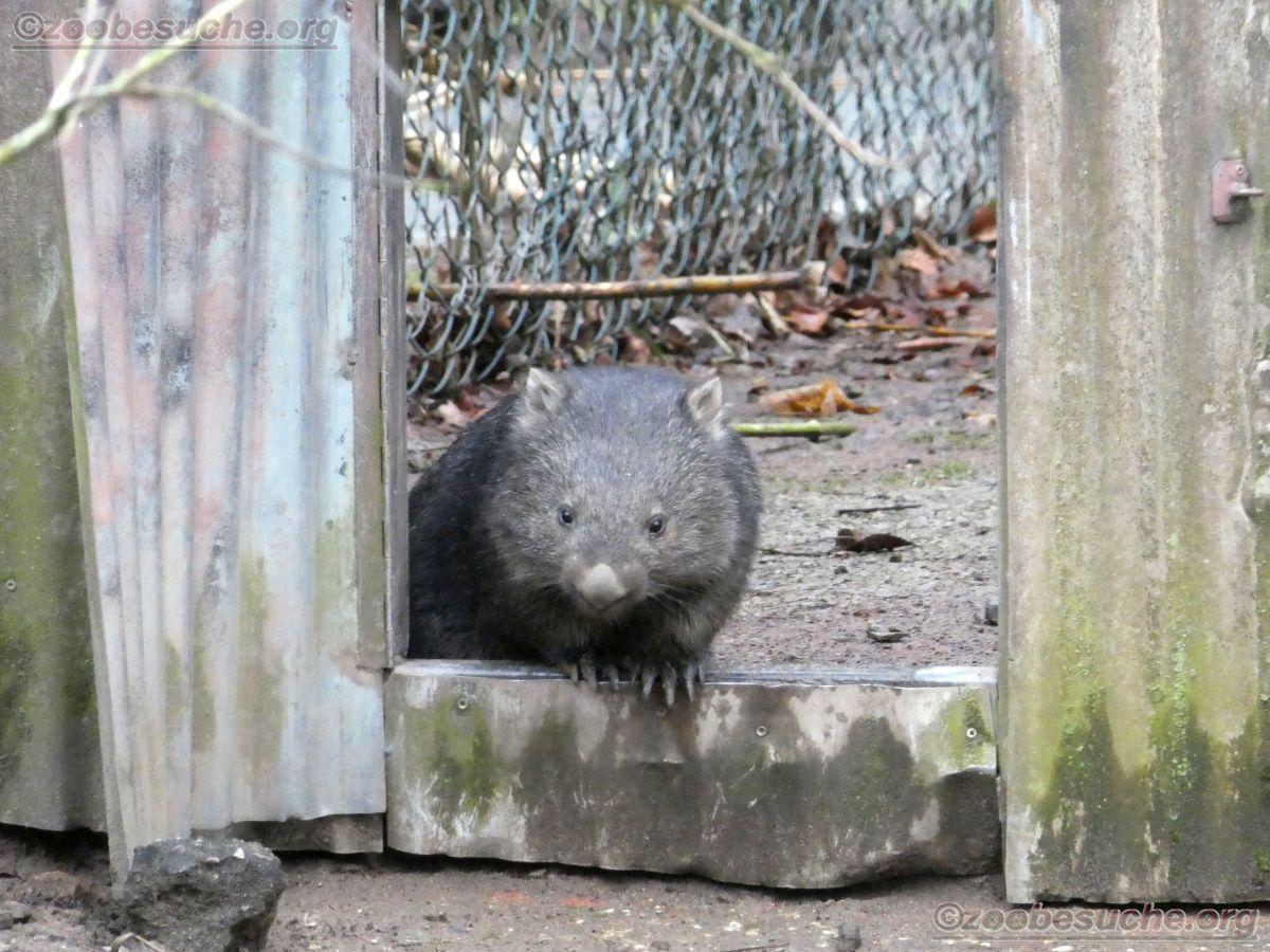 Wombat Maya  (1)