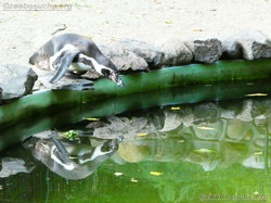 Humbolt Pinguine  (4)
