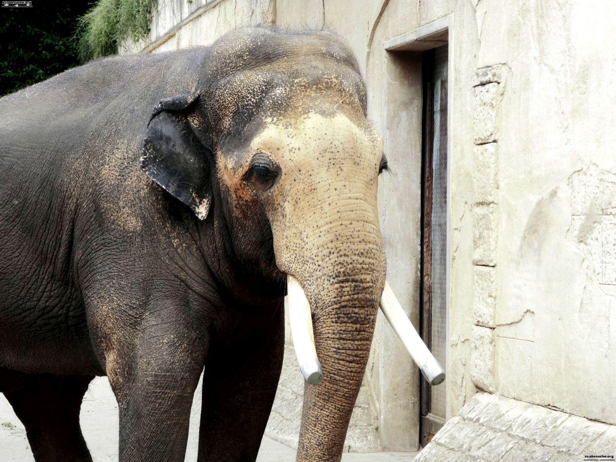 Elefantenbulle Nikolai  (3)