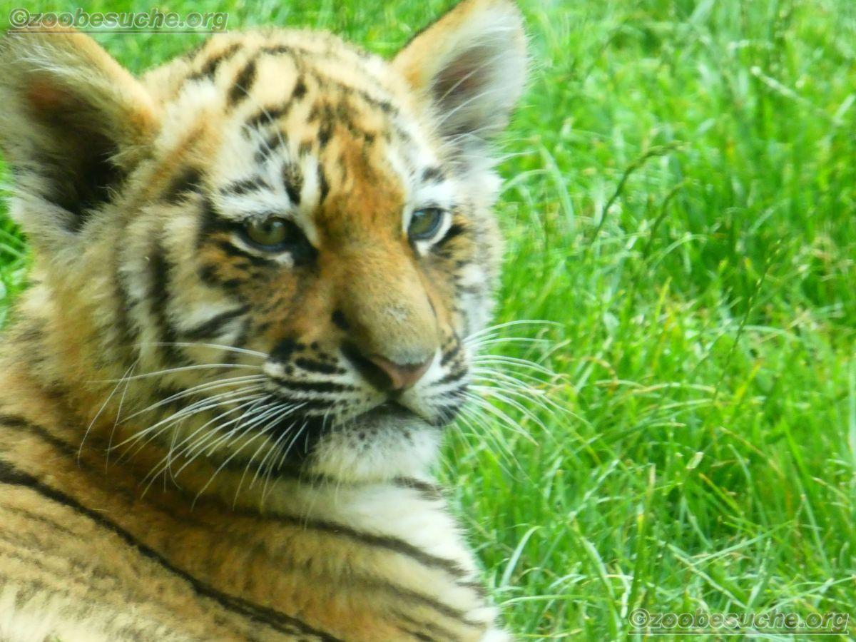Tiger Jungtiere  (1)