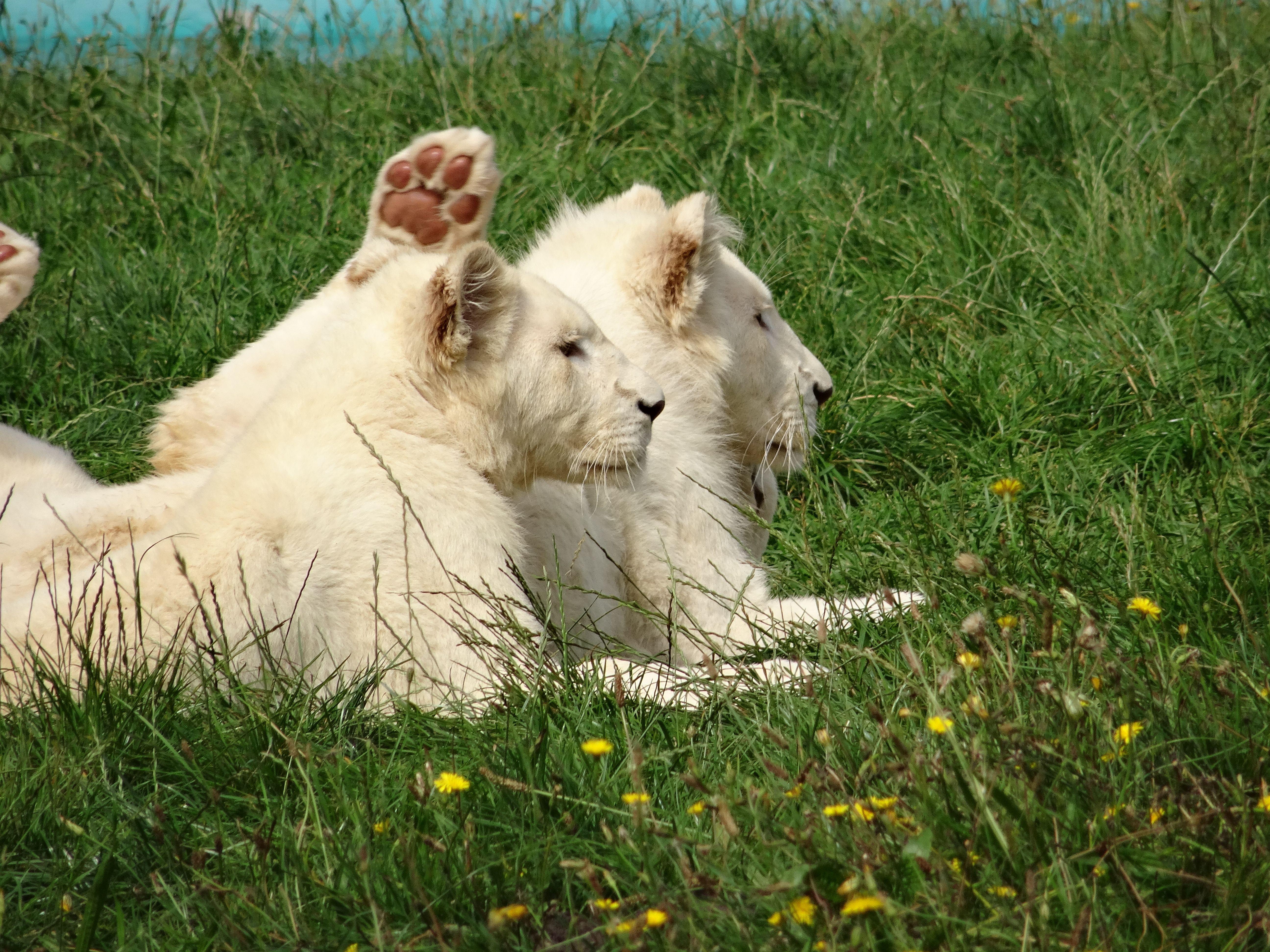 3 kleine weiße Löwen