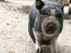 Hängebauchschwein (6).jpg