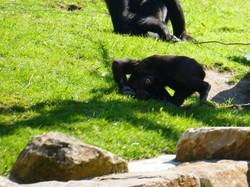 Gorilla Anandi Purzelbaum  (14)