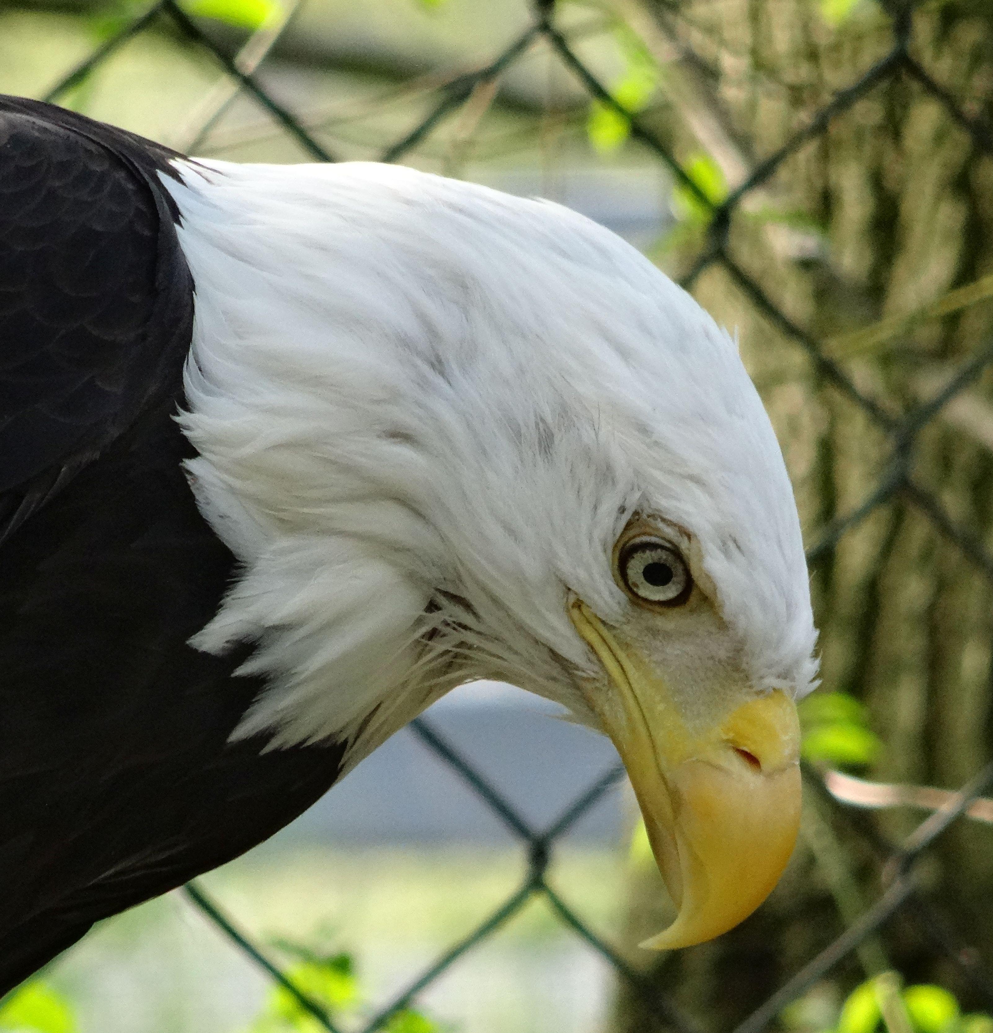 Adler  (5)