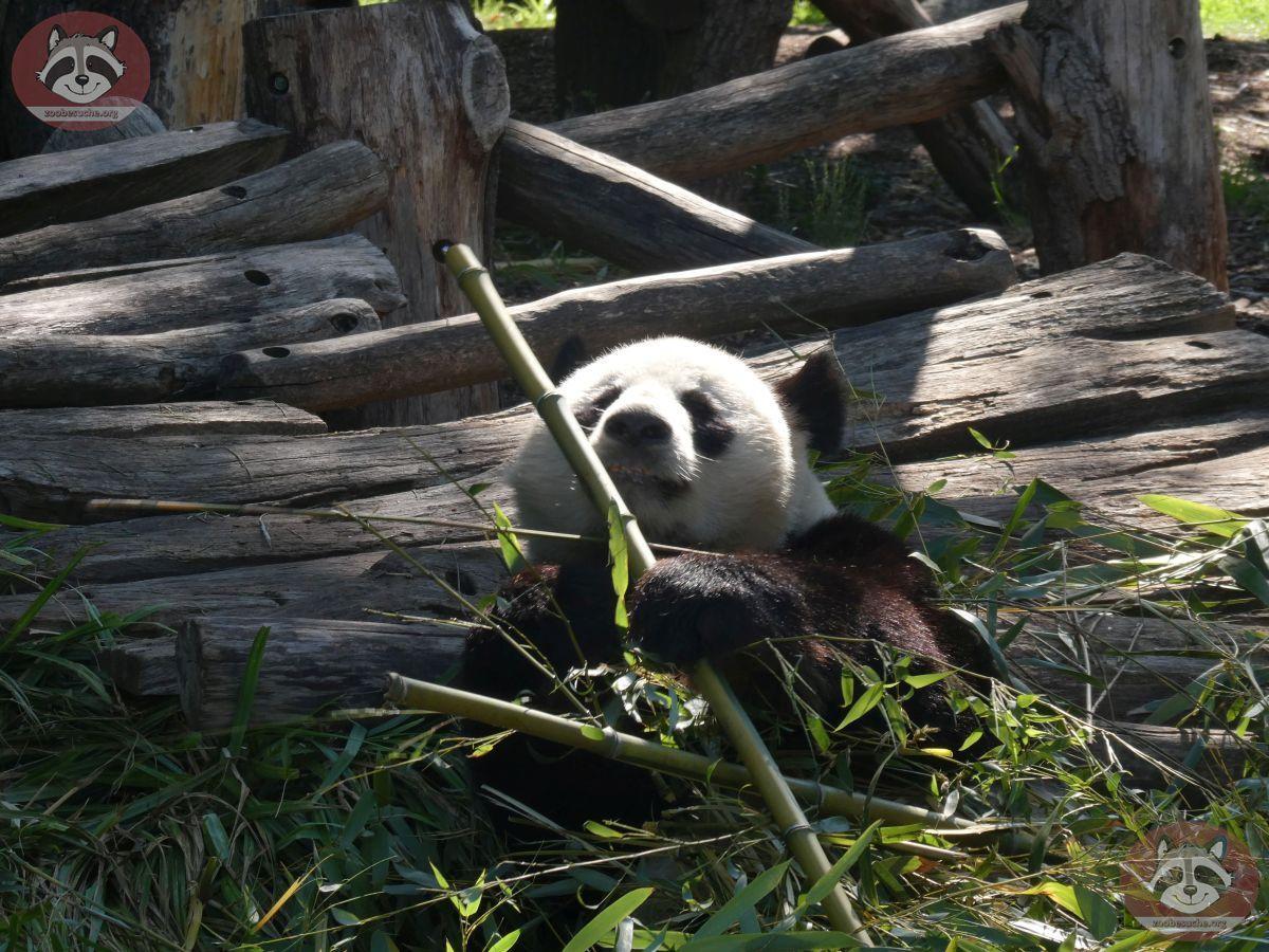 Panda Jiao Quin  (1)