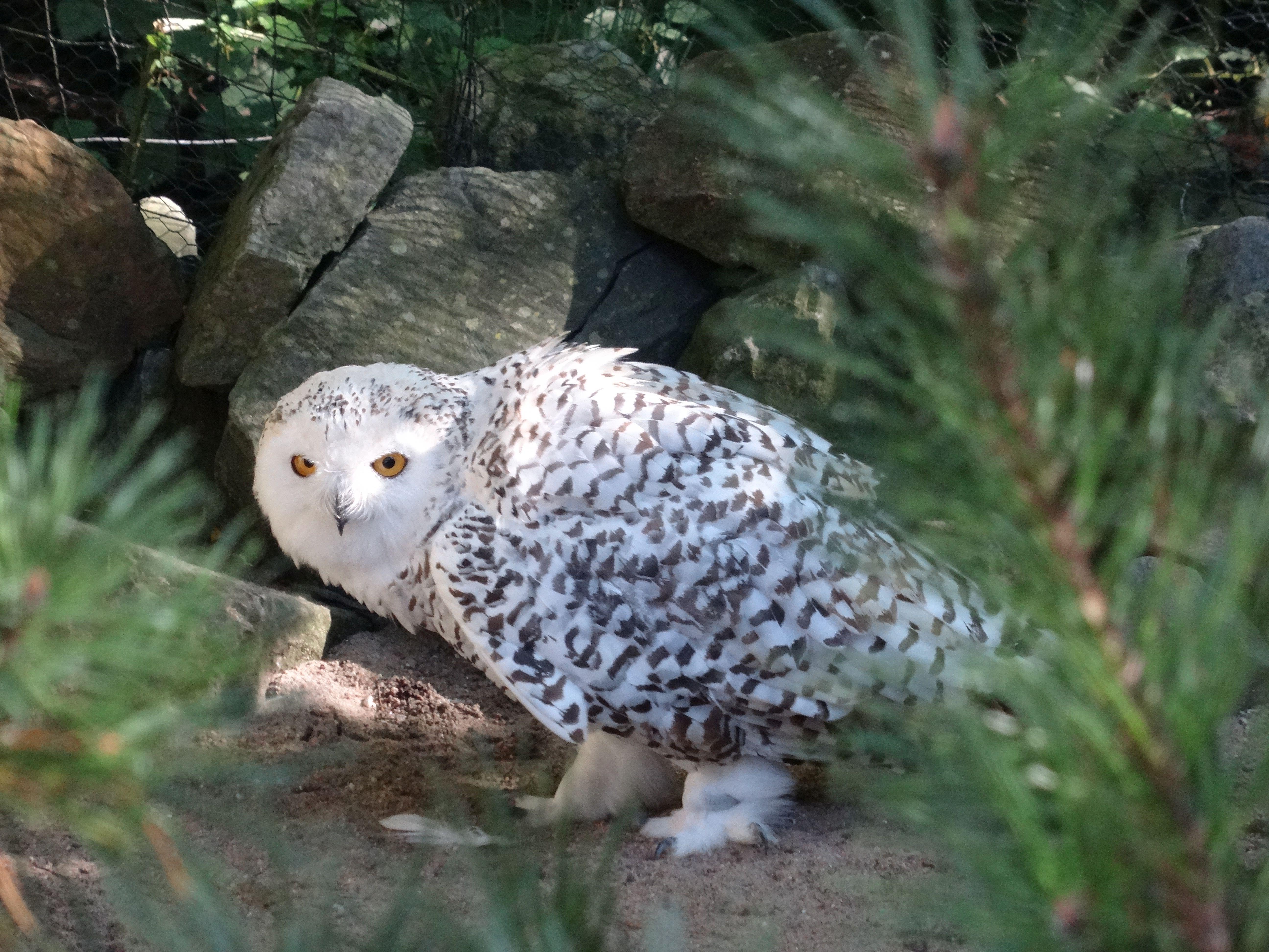 Schneeeule Weibchen 2