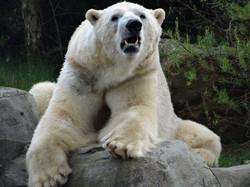 Eisbär  (8)