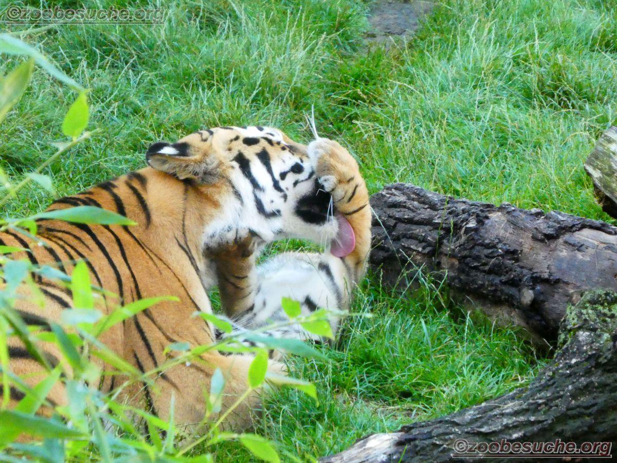 Tigerin Alexa mit jungtier  (4)