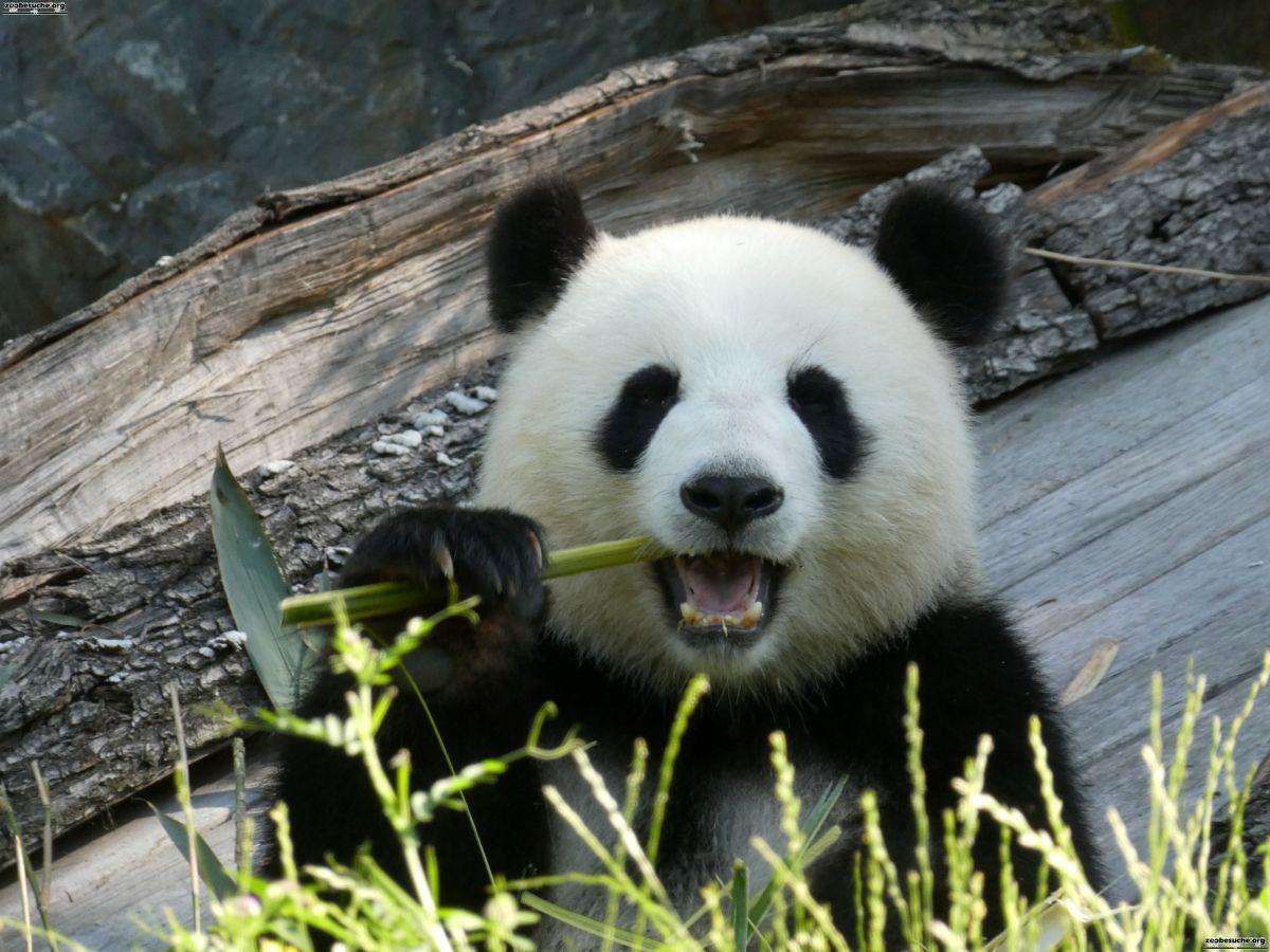 Panda  (322)