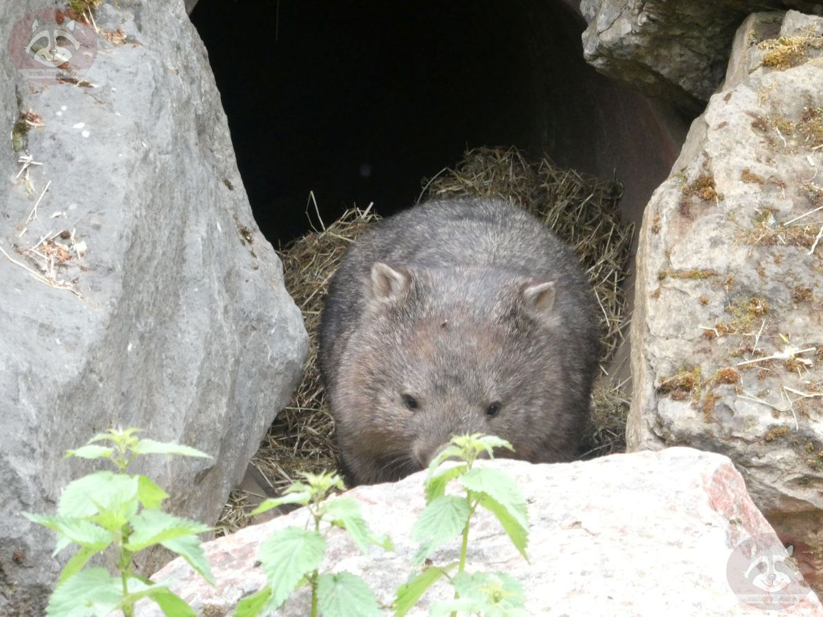 Wombat Kelly  (2)