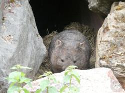 Wombat Kelly  (2)