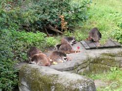Waschbären (1)
