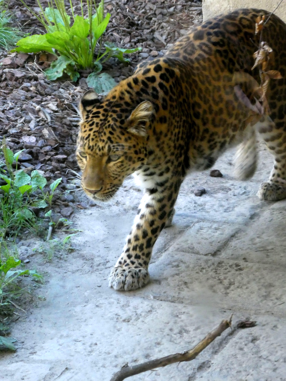 Leopard Julius  (10)
