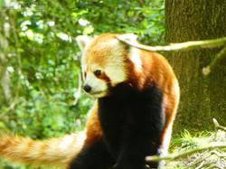 Roter Panda  (12)