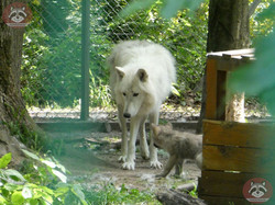 Polarwolf  (5)