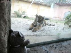 Tiger Jungtier mit Wuschel  (15)