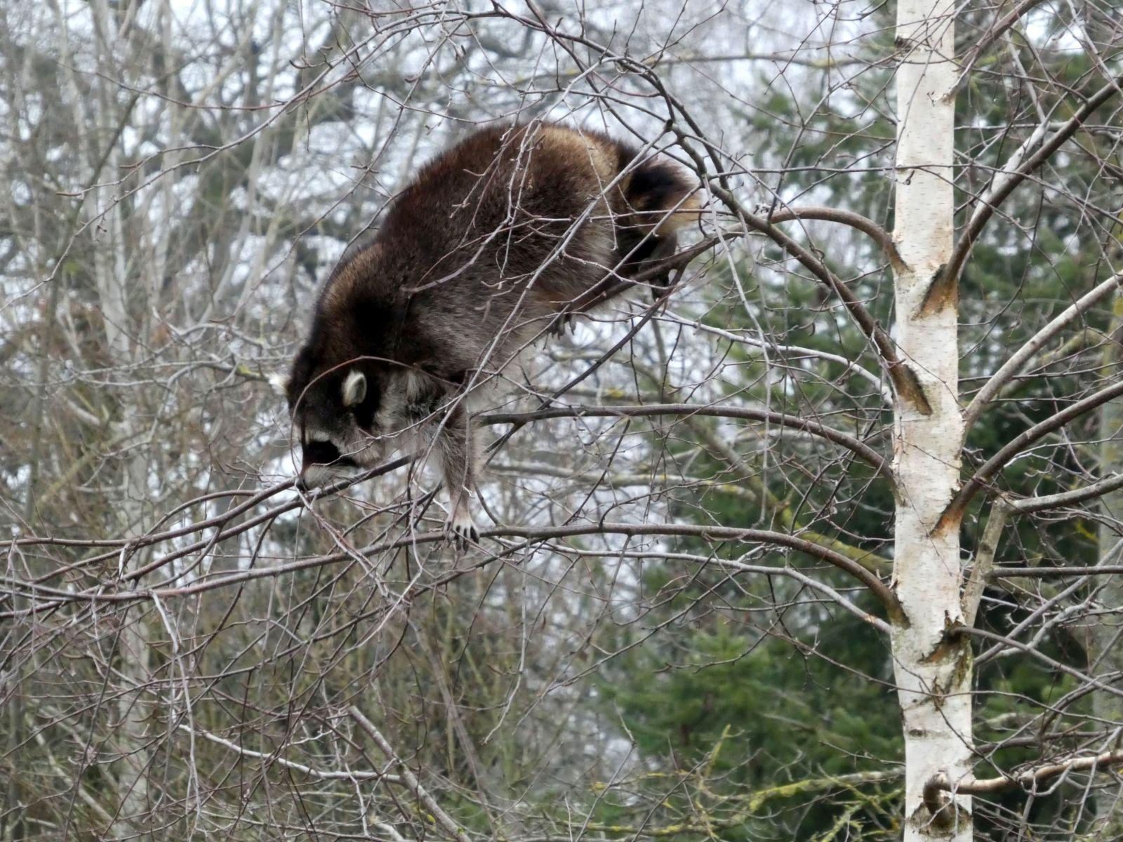 Waschbären  (9)