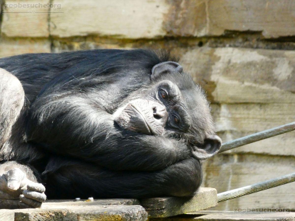 Schimpansen  (2)