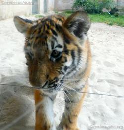 Tigerjungtiere  (25)