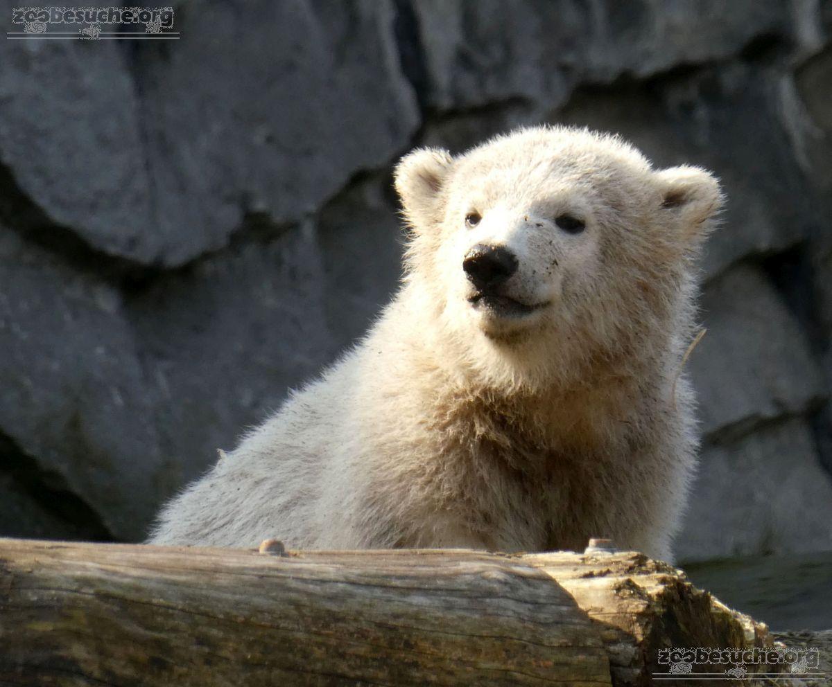 Eisbär  (77)