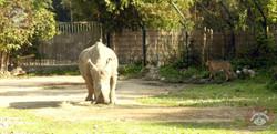Gepard und Nashorn (4)