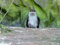 Kurzkrallen Otter  (1)