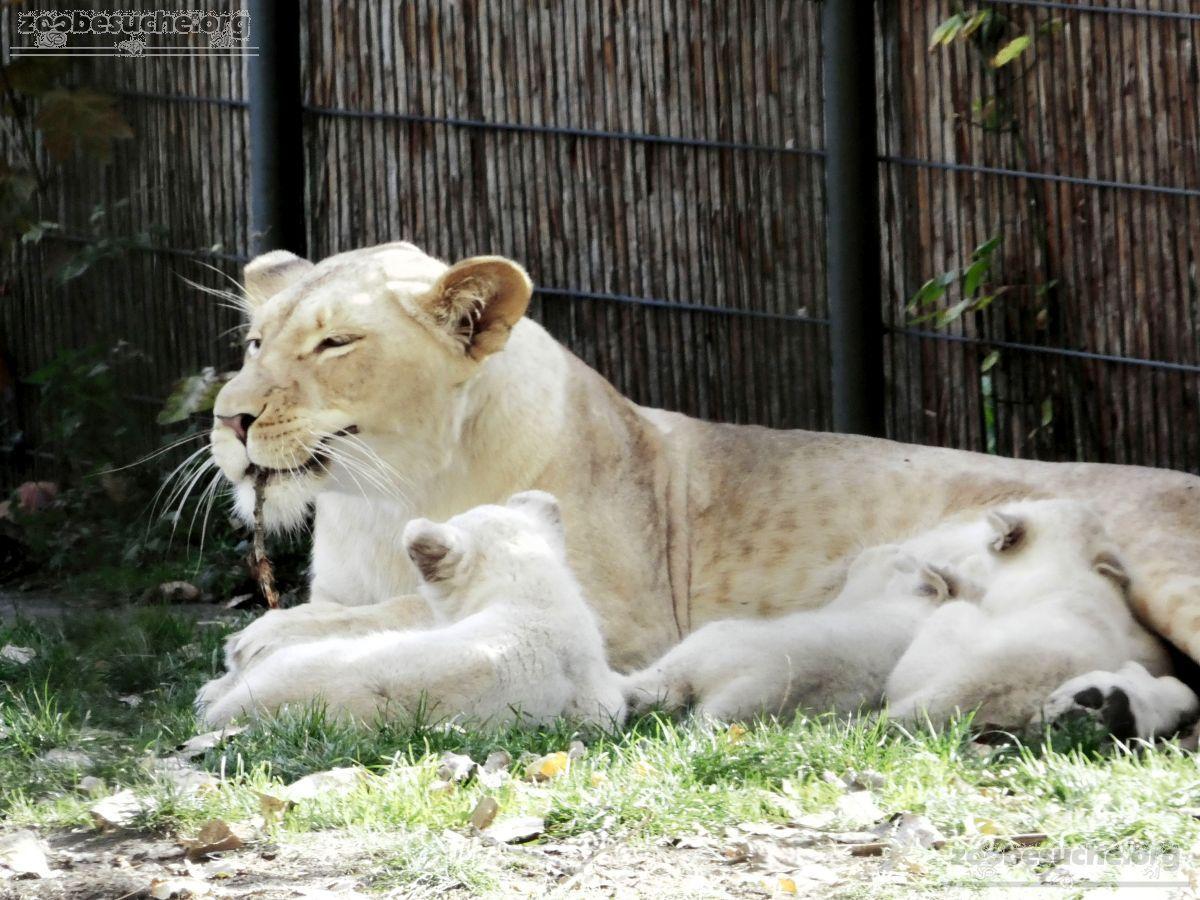 Löwen  (46)