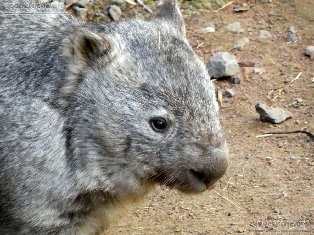 Nacktnasenwombat  (8)