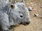 Nacktnasenwombat  (8).jpg
