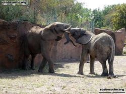 Afrikanische Elefanten  (8)