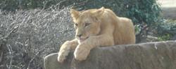 Löwen  (3)