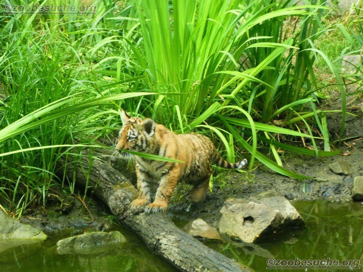 Tiger Jungtiere  (58)
