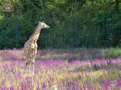 Giraffe Henry  (2)