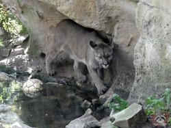 Puma (6)