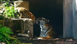 Tiger (11)