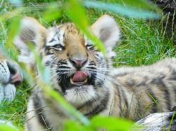 Tiger Jungtier (4)