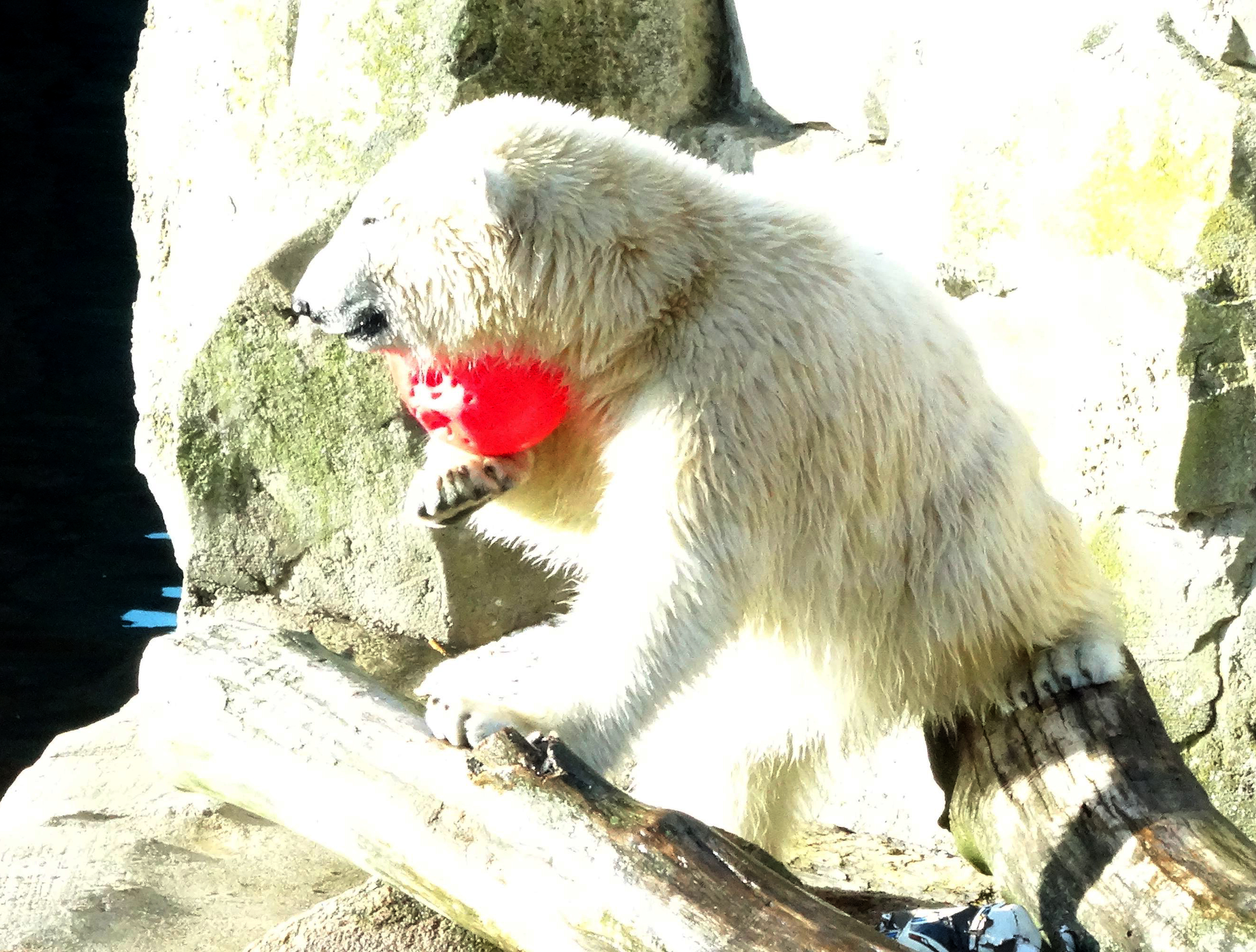 Eisbären  (11)
