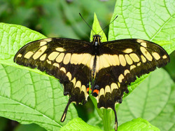 Schmetterling  (13)