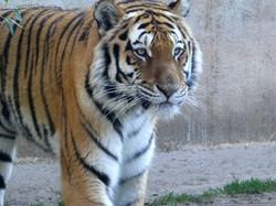 Tiger Aljoscha  (8)