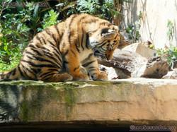 Tiger (18)