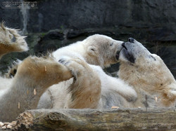 Eisbär  (72)