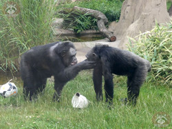 Schimpanse Maxi  (4)