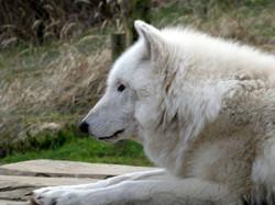 Polarwolf  (1)