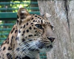 Armur Leopard 1