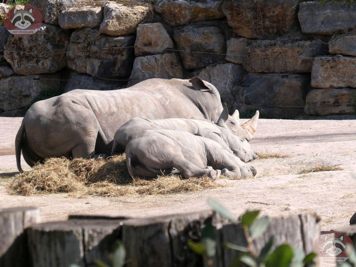 Nashorn (1)