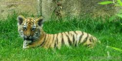 Tiger Jungtiere  (18)