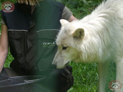 Polarwolf  (11)