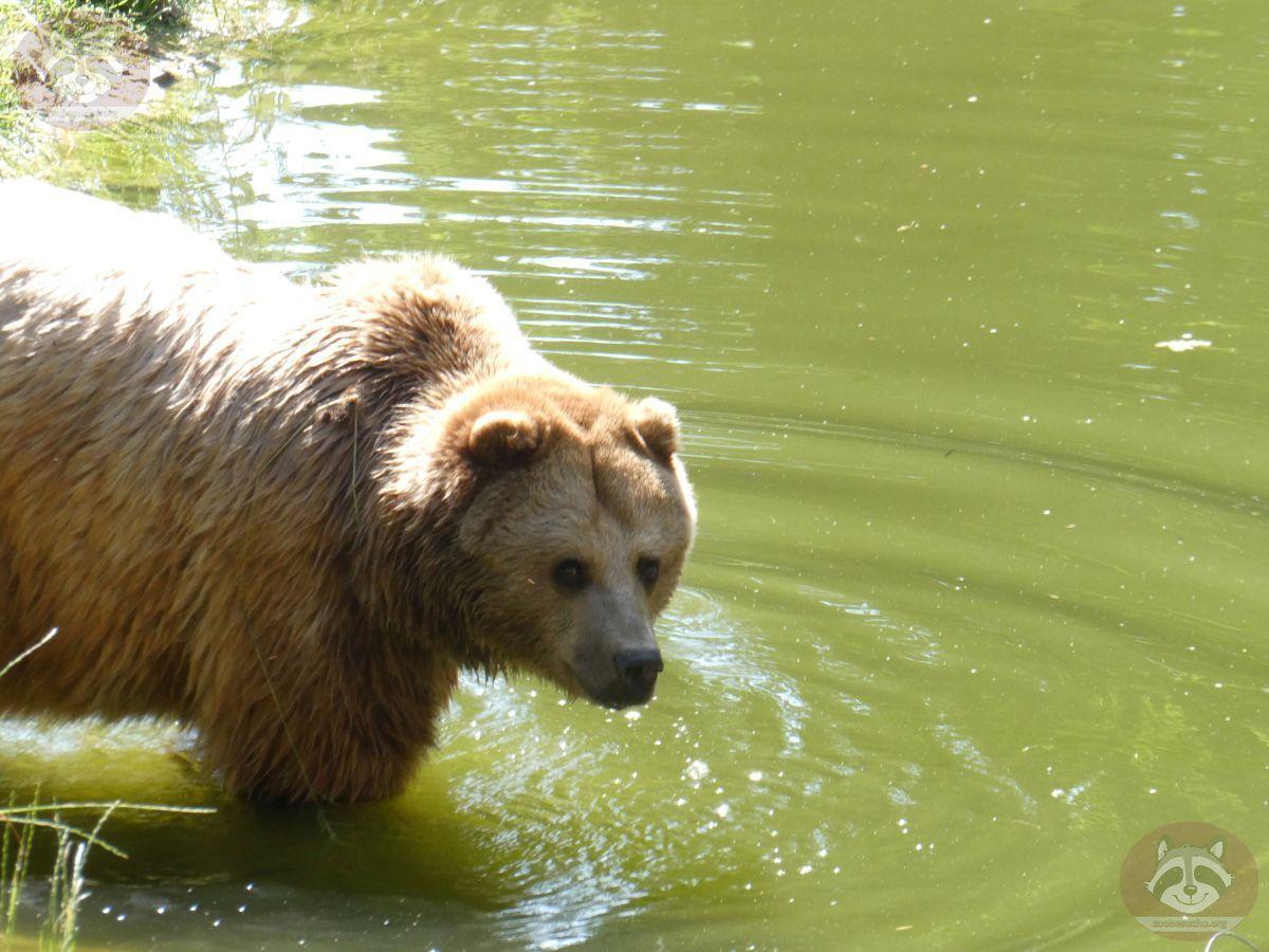 Braunbär Karla  (5)