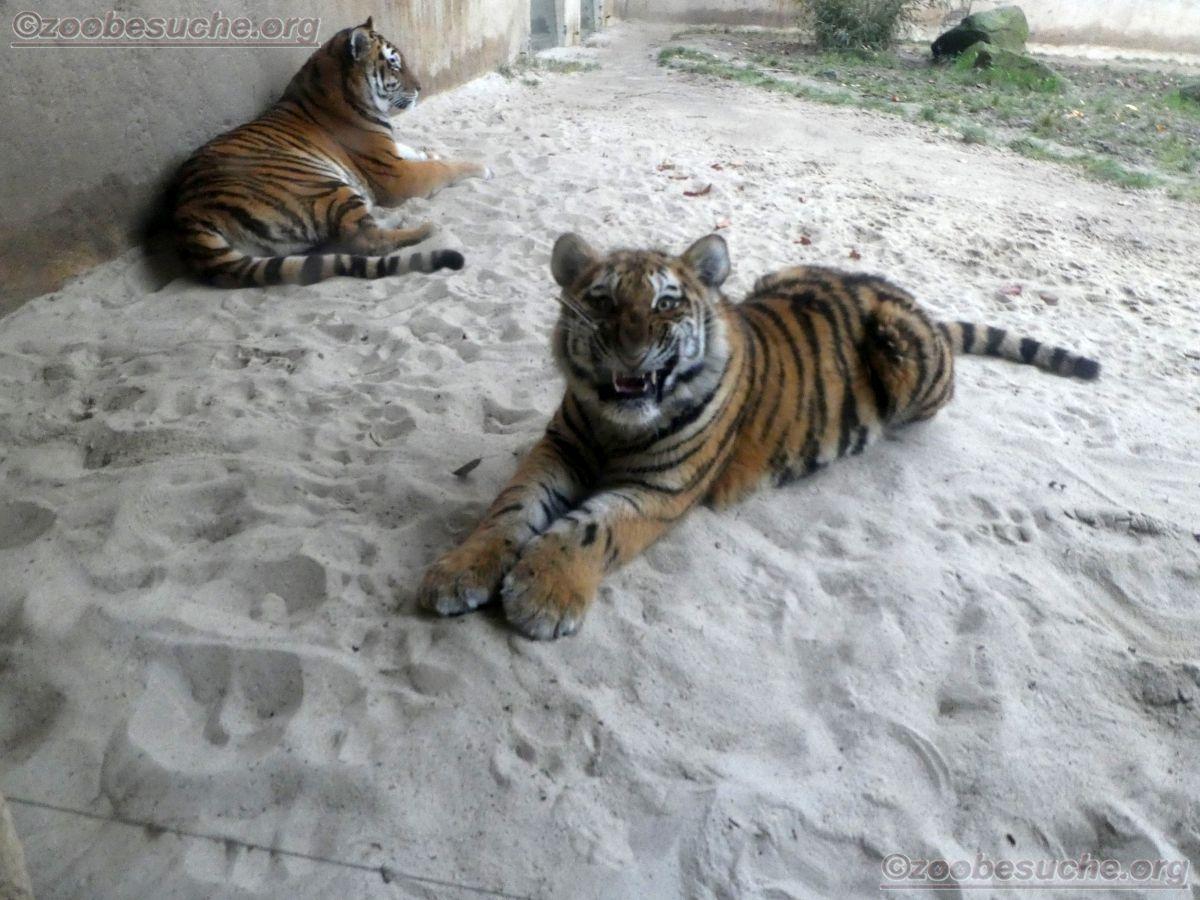 Tiger Jungtier mit Alexa  (4)